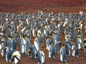 Welcome to King Penguin Village at Volunteer Point