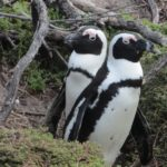 African penguins in Betty's Bay